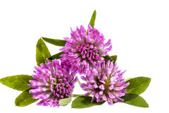Flower of pink clover isolated on white background Royalty Free Stock Image