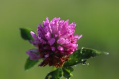 Flower of a pink clover in the sun. A blue flower in droplets of dew on a blurred green background. Plants of the meadows of the r. Egion with a temperate stock photo
