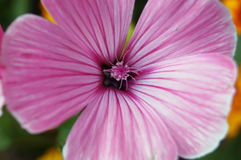 Flower with pink curly petals and dark middle Stock Photos