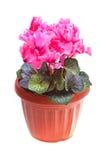 Flower pink cyclamen stock photo