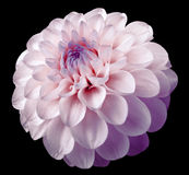 Flower pink dahlia  black isolated background with clipping path. Dew on petals. Nature Stock Photo
