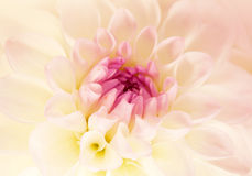 Flower pink dahlia, macro shot Royalty Free Stock Photography