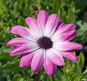 Flower, Pink, Daisy, Close-Up Stock Photography