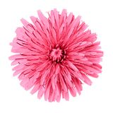 Flower pink dandelion isolated on white background. Flower bud close up. Element of design.  stock photo