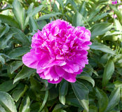 Flower pink dendritic  peony Royalty Free Stock Photo