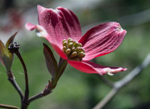 Flower of a Pink Dogwood in Bloom Royalty Free Stock Photos