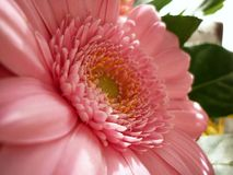 Flower, Pink, Flora, Flowering Plant Royalty Free Stock Photo