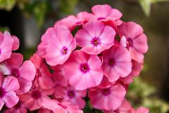 Flower, Pink, Flora, Plant royalty free stock photo