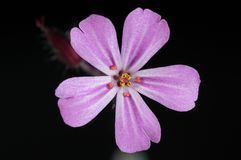 Flower, Pink Flower, Flowers Stock Photos