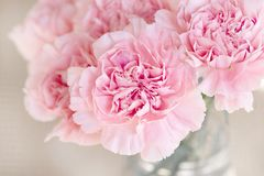 Flower, Pink, Flowering Plant, Peony stock image