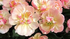 Flower, Pink, Flowering Plant, Plant royalty free stock image