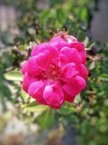 Flower, Pink, Flowering Plant, Rose Family Stock Image