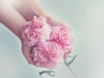 Flower, Pink, Flowering Plant, Rose Family Royalty Free Stock Photo