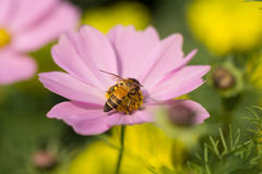 Flower. Pink flowers with a bee looking for nectar, flowers, and also mixed pollen Stock Photo