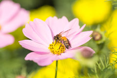 Flower. Pink flowers with a bee looking for nectar, flowers, and also mixed pollen Stock Photos