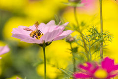 Flower. Pink flowers with a bee looking for nectar, flowers, and also mixed pollen Royalty Free Stock Image