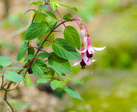 Flower. Pink fuchsia flower in the garden Royalty Free Stock Photography