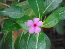 Nayantara flower. Flower pink garden green leaver royalty free stock photography