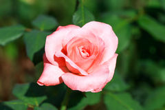 Flower pink in the garden. Pink rose in the garden Stock Images