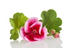 Flower pink geranium. on white stock photo