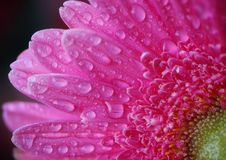 Flower pink gerbera with green center and petals covered with large drops royalty free stock photography