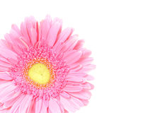 Flower pink gerbera isolated Royalty Free Stock Image