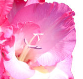 Flower of a pink gladiolus Royalty Free Stock Photography