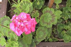 Flower pink with green leaves in the pot Royalty Free Stock Photo