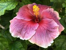 Flower, Pink, Hibiscus, Plant Royalty Free Stock Photo