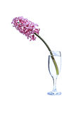 Flower of pink hyacinth in a fougeres water isolated Royalty Free Stock Photos