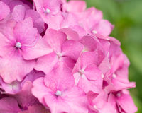 Flower pink hydrangea. Soft focus stock image