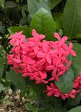 Flower. Pink Ixora in the garden Stock Photo