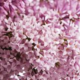The flower pink lilac a background Stock Photo