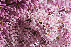 The flower pink lilac a background Royalty Free Stock Photography