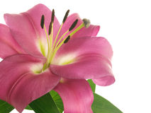Flower of pink lilies Royalty Free Stock Image