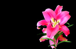 Flower of pink lily Stock Photography