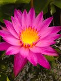 Flower. Pink lotus flower Royalty Free Stock Photos