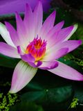 Flower. Pink lotus flower Stock Photography