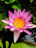 Flower. Pink lotus flower Royalty Free Stock Images