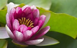 Flower. PInk Lotus Flower on a green background Royalty Free Stock Image