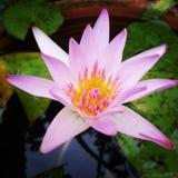 Flower. Pink lotus at Rayong Thailand Stock Photography