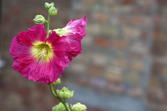 Flower of pink mallow closeup Stock Image