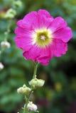 Flower of pink mallow closeup Stock Photography