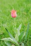Flower pink-orange tulip variety Ballerina Stock Photos