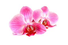 Flower pink orchid - phalaenopsis Stock Photo