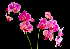 Flower  pink orchid -  phalaenopsis Royalty Free Stock Photography
