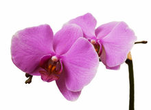 Flower of a pink orchid Stock Photography