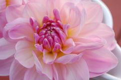 Flower, Pink, Petal, Close Up Stock Image