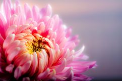 Flower, Pink, Petal, Flora Stock Image