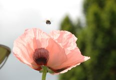 Flower, Pink, Petal, Poppy Stock Image